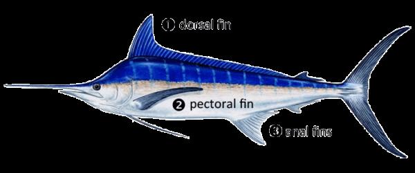 Billfish Fin Identification