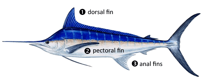 ECBC Billfish Fin Identification